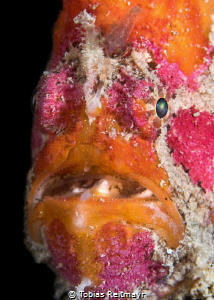 Freckled Frogfish, at night on Sipadan Wreck, Tioman Island by Tobias Reitmayr